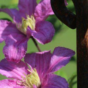Blumen mit rostigem Zaun-Stab