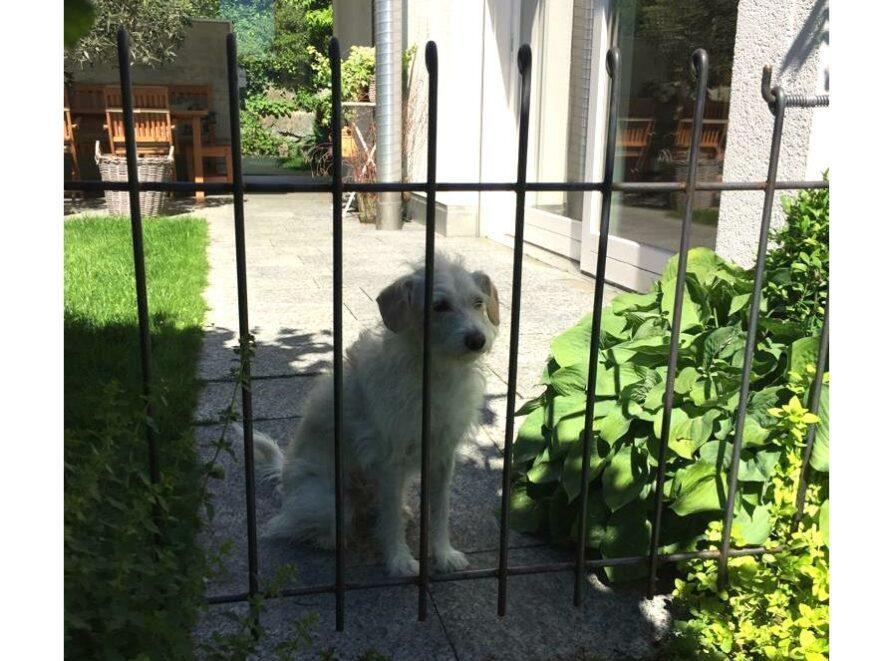Gartentür aus Eisen mit einem weißen Hund