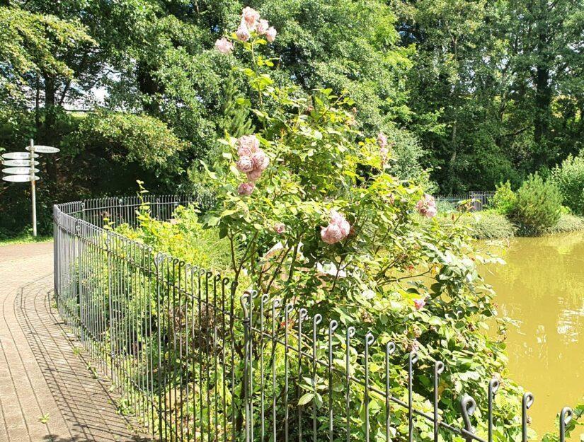 Blühende Rosen an einem eingezäunten See im Park.