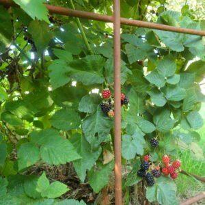 Brombeeren wachsen an dem Spalier aus Eisen Draht