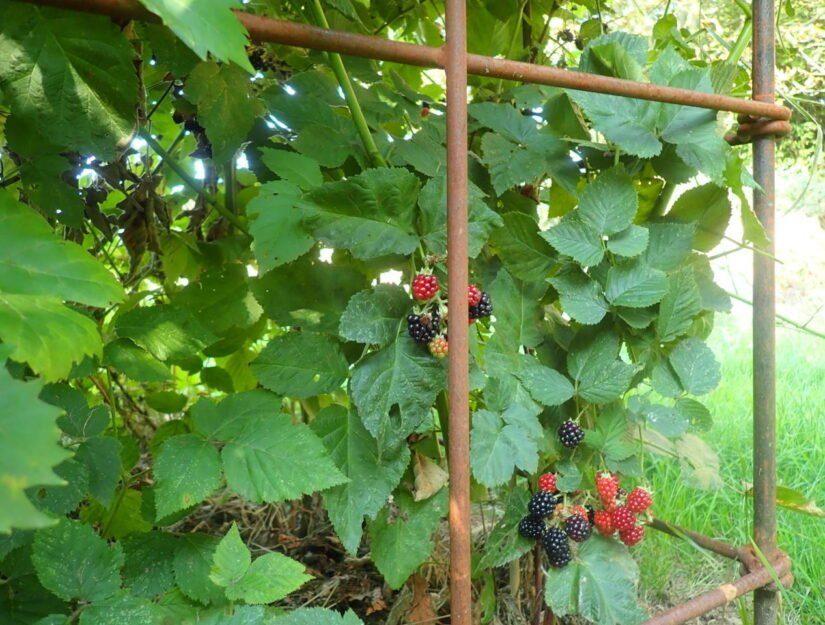 Les vignes de mûres sont maintenues ensemble par le treillis.