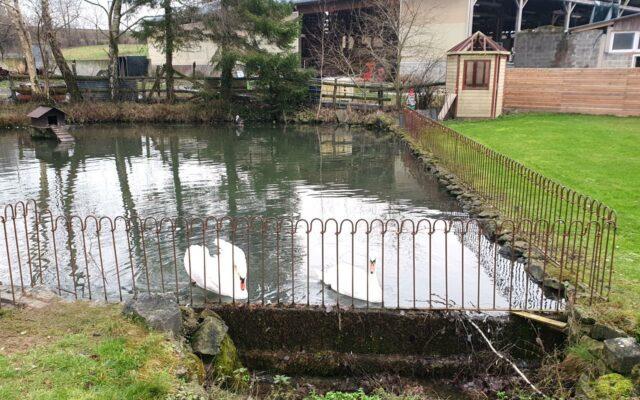 Eingezäunter Teich mit zwei Schwänen