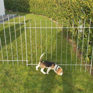 Zaun aus Stahl für einen Beagle Welpen