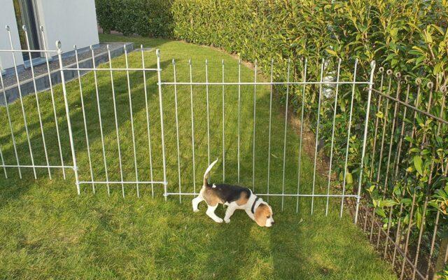 Gartenumzäunung für einen Beagle