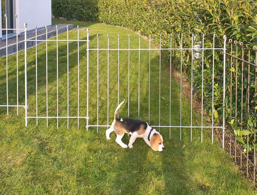 Steckzaun verzinkt und roh/unbehandelt mit einem Beagle Welpen.