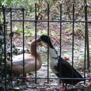 Zwei Enten hinter der Tür vom Gartenzaun