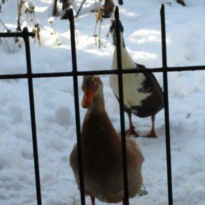 Die Enten in Garten im Schnee hinter dem Zaun