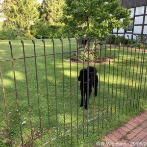 145 cm hoher Hundezaun aus Stahl für einen großen schwarzen Pudel