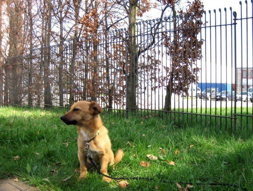 Le chiot est dans l'espace clôturé ce qui l'empêche de courir dans la rue.
