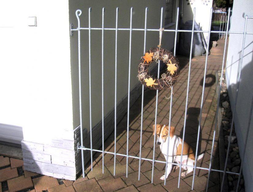 Ein Beagle hinter der Tür anneau-145-verzinkt, welche mit 2 Wandhaltern an der Mauer befestigt ist.