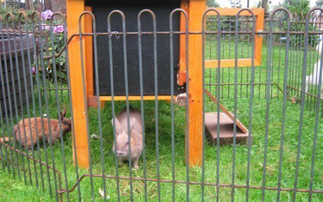 VIDEO: was macht das Kaninchen im Hasengehege rabbit-74-roh?