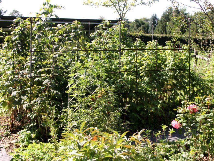 Himbeerspalier im Garten aus einem Eisengeflecht