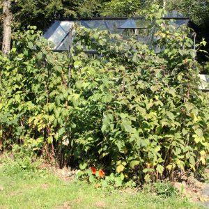 Wuchshilfe für Himbeeren im Garten aus Eisen