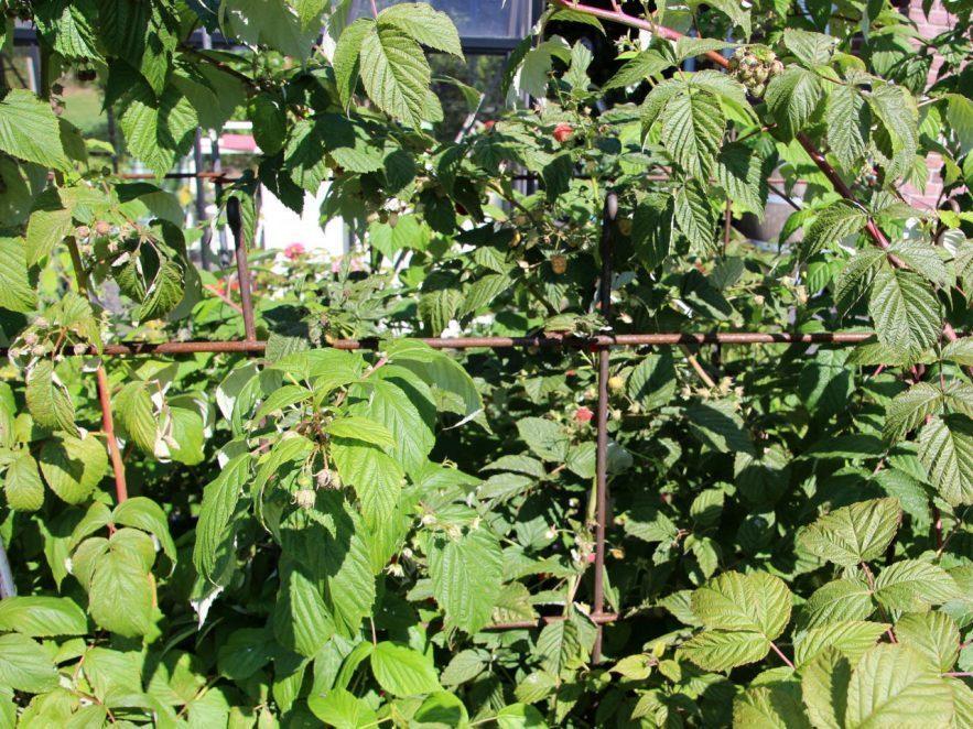 Beerenspalier mit Himbeerfrüchten aus rostigen Eisen