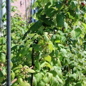 Der Fruchtspalier trägt die Sträucher mit den heranreifenden Himbeer-Früchten