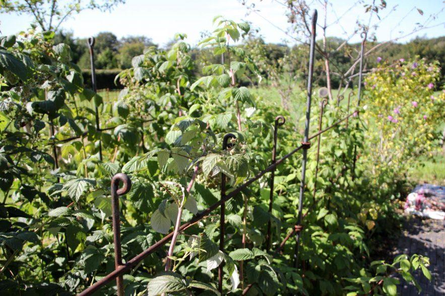Zwischen dem Himbeergestell aus Metall wachsen die Himbeersträucher mit Ihren Früchten