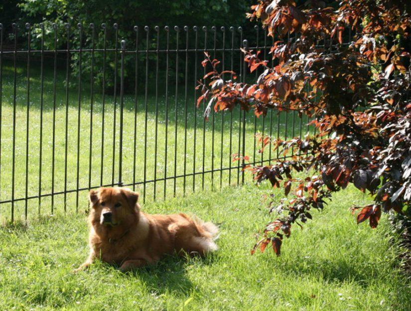 Der Hund liegt auf dem Rasen und bleibt im eingezäunten Garten.