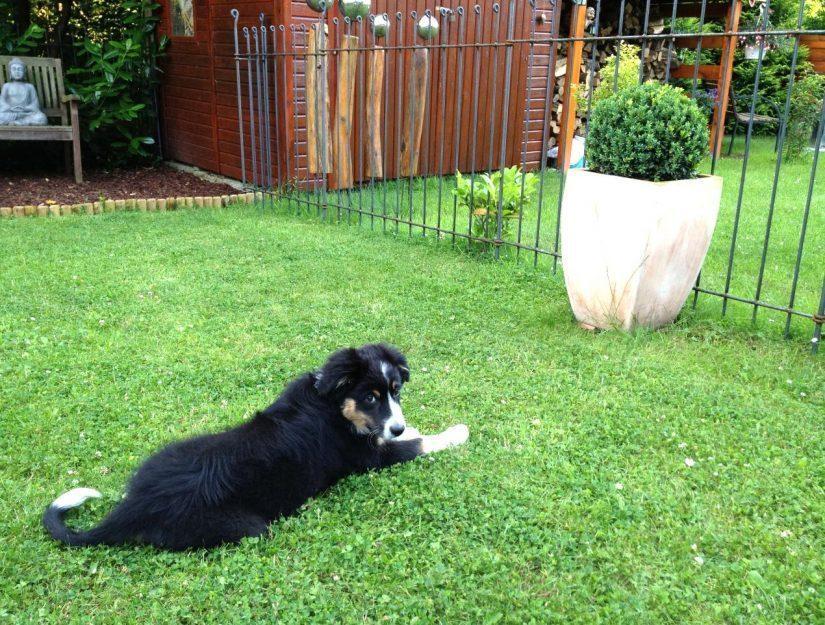 Der Berner Sennenhund Welpe liegt vor dem Hunde-Steckzaun aus Metall.