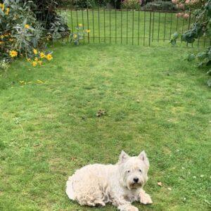 Der Hund fühlt sich wohl in seinem eingezäunten Garten