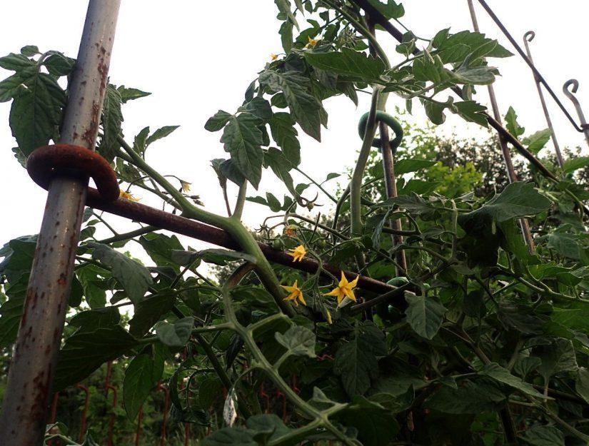Die blühenden Tomatenpflanzen umranken das angerostete Rankspalier.