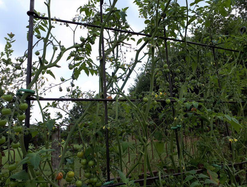 Les tomates poussent sur le treillis de fruits en acier soudé.