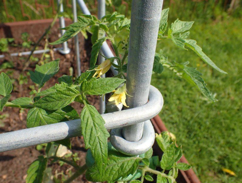 Les treilles forment un coin où le plant de tomate trouve un soutien.