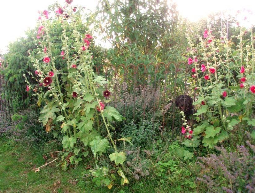 Der rostiger Steckzaun im Garten schützt die Blumen vor dem Hund.