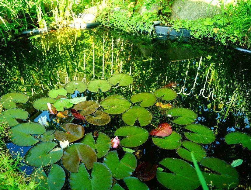 Teich mit Seerosen - der Teichzaun spiegelt sich im Wasser.