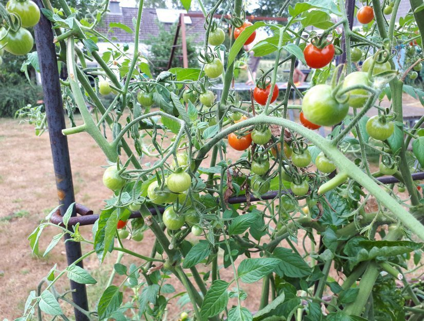Les tomates grimpent l'espalier de métal solide.