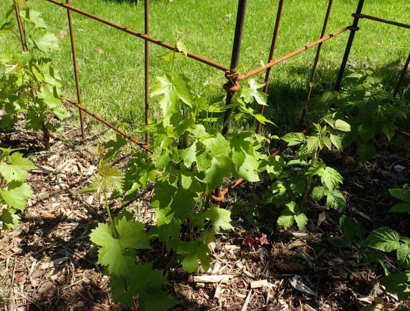 Les arbustes et les vignes ont de la place pour pousser.