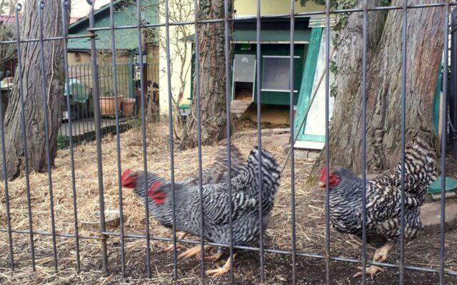 Stabiler Zaun für Hühner