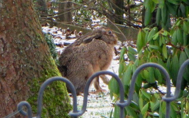 Teichzaun im winterlichen Minden mit Feldhase