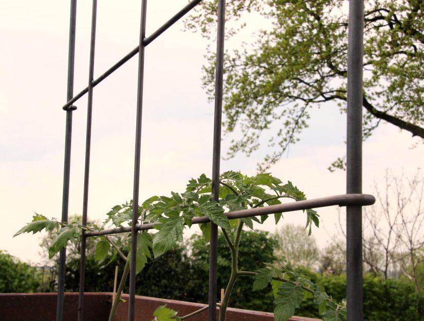Die Tomaten können an dem Spalier - Rankgitter hoch wachsen (in roh, wird noch rosten).