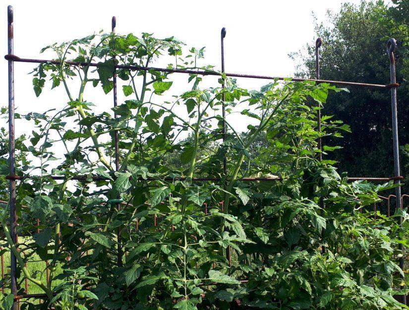 Die Tomaten können an dem Spalier hoch wachsen.
