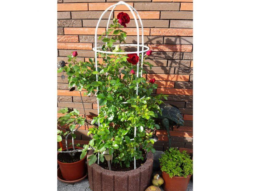 L'aide à la grimpe pour les roses dans le pot de fleurs, l'obélisque a été peint en blanc par le client.
