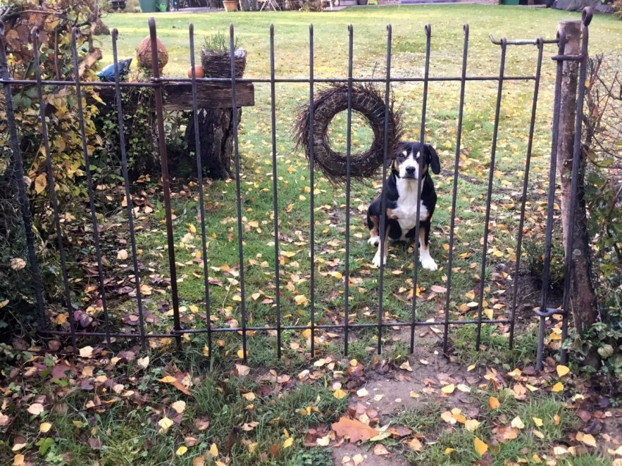 Torelement mit Seitenteil aus rostigem Stahl hält den Hund auf dem Rasen