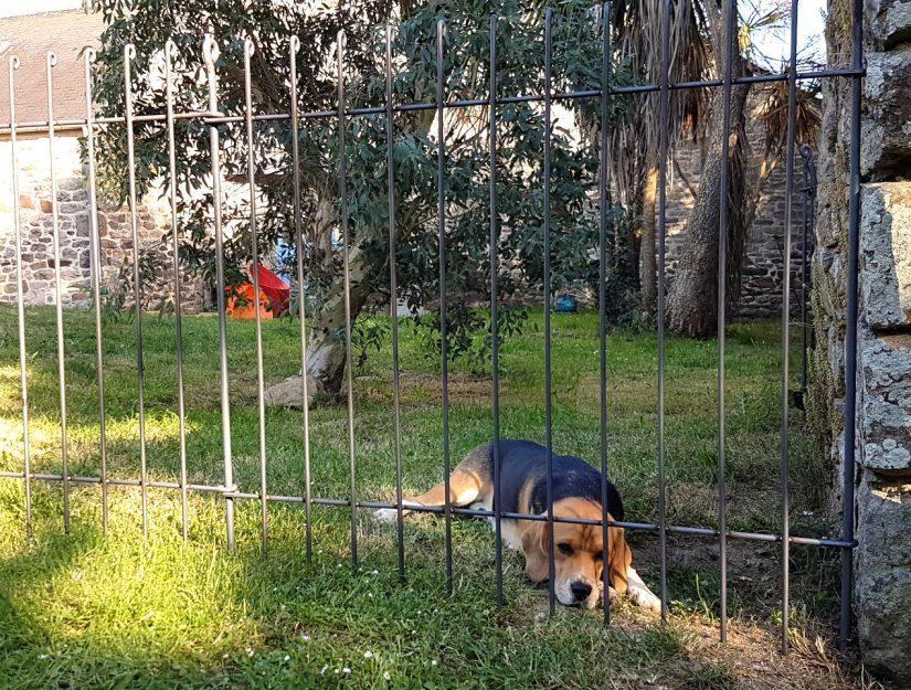 Der Beagle liegt im Garten hinter dem gesteckten Hundezaun aus Stahl.