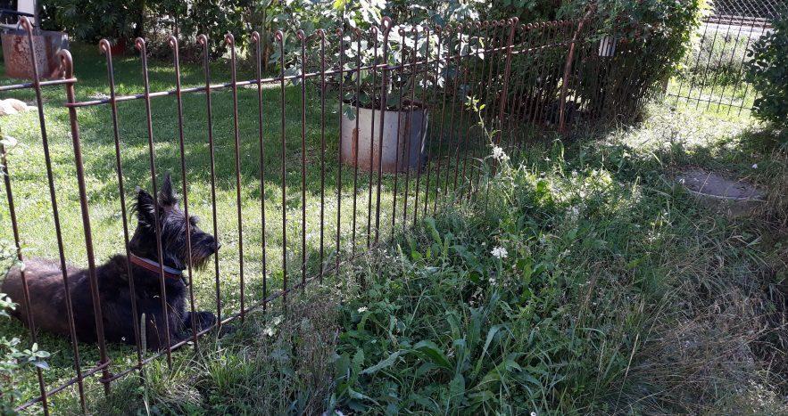 Der Schnauzer liegt hinter dem rostigen Metallzaun der im Garten gesteckt ist