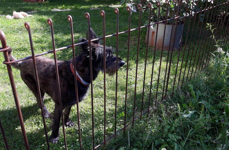 Der Schnauzer im eingezäunten Garten - der Zaun hat schon eine schöne Rost-Patina angesetzt