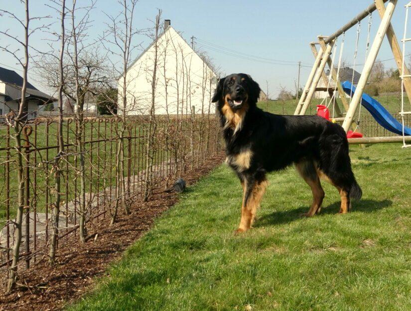 Rostiger Zaun hinter einer neu gepflanzten Hecke, damit der Hund nicht raus kann.