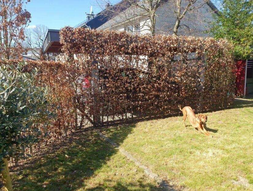 Rostiger Zaun in der Buchenhecke integriert, damit der Hund nicht mehr durch kann.