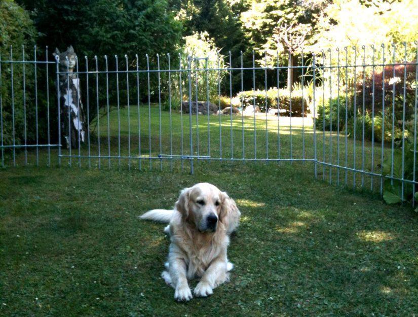 Der Golden Retriever bleibt in seinem umzäunten Hunde-Auslauf.